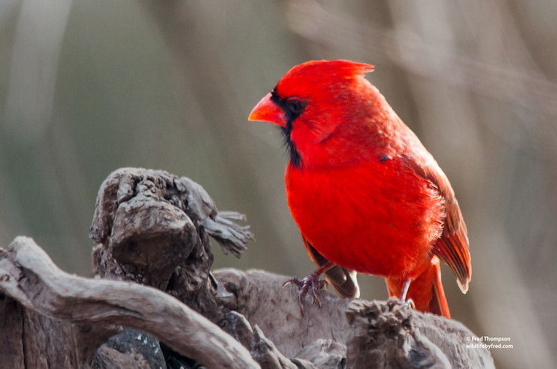 NORTHERN CARDINAL WITH A TICK