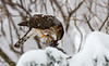 COOPERS HAWK  HAVING LUNCH IN MY YARD DURING BLIZZARD OF 2016