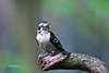 DOWNY WOODPECKER (JUVENILE)