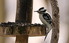 HAIRY WOODPECKER WITH A CROSBILL