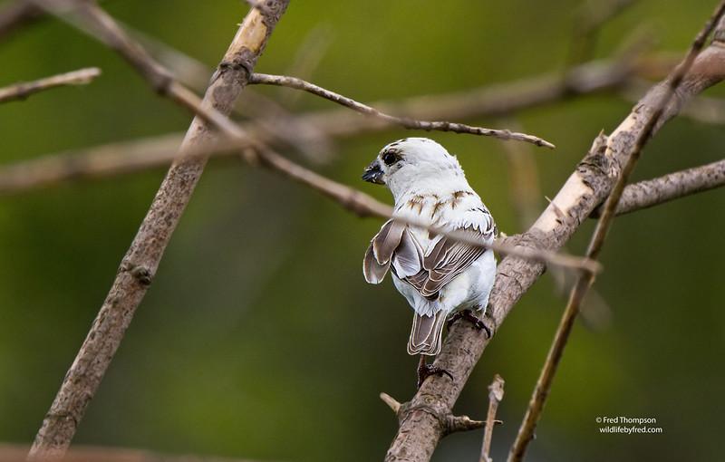 LEUCISTIC BIRD (UNKNOWN) PHOTO TAKEN  5-2-15 IN MY YARD