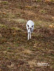 LEUCISTIC WHITETAIL DEER