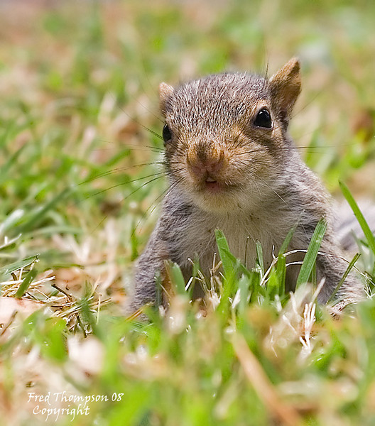 JUVENILE GRAY SQUIRREL