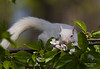 ALBINO GRAY SQUIRREL