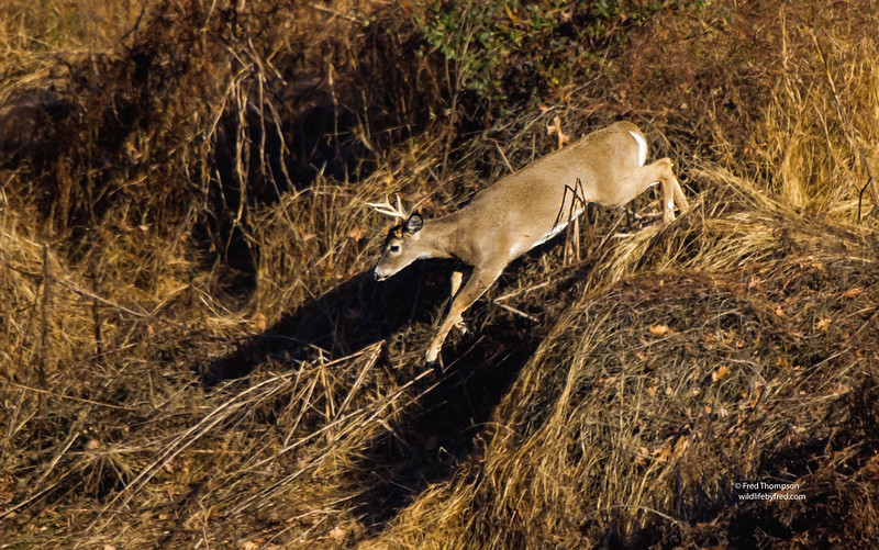 WHITETAIL DEER --BUCK CHASING AFTER A DOE