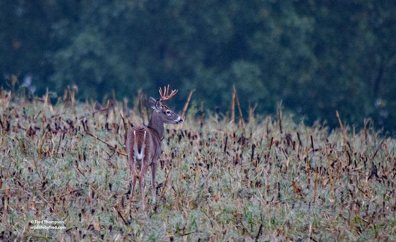 WHITETAIL BUCK-PHOTO TAKEN FROM MY BEDROOM WINDOW