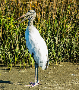 """Does this Dress make my butt look Fat"" Wood Stork - St. Augustine FL"