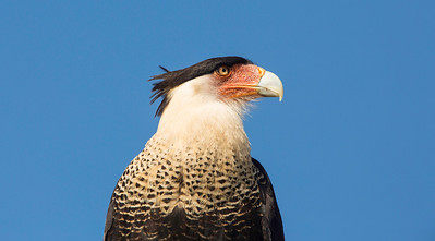 """Don't call me a Chicken"" - Florida Caracara"