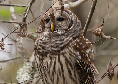 Barred Owl, Lower Suwannee Florida
