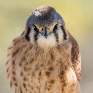 American Kestrel - Arizona