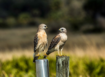 """You Talkin' To Me""  - Red Shouldered Hawks"