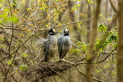 Yellow Crowned Night Heron Pair