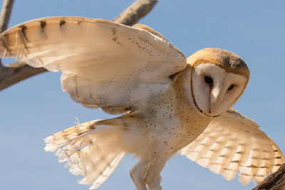 Barn Owl, Arizona