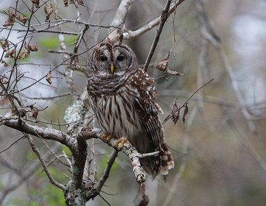 Barred Owl on the Lower Suwaunee