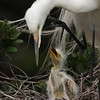"""Please, mommy... "" Great Egret w chick"