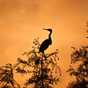 Tricolored Heron sunset