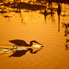 Tricolored Heron sunrise