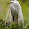 Great Egret courtship feathers