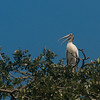 Woodstork talking