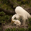 Great Egret w chick