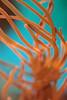 Aquarium Anemone