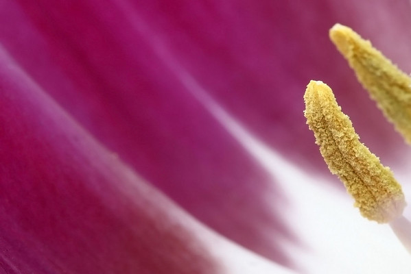Tulip Anthers