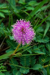 Powder Puff, Sensitive Plant  (Mimosa strigillosa)