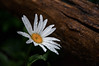 I found this Daisy outside our motel room early one morning in Casheirs, NC.