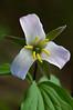 Carolina Least Trillium