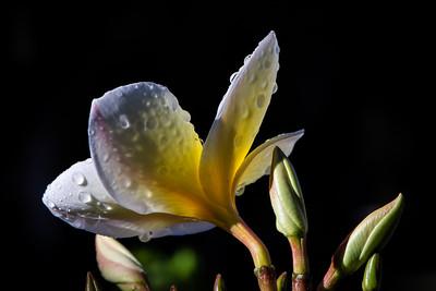 Westminster Flowers - 022 Plumeria