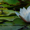 WATERLILY & COMPANION