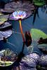 Koi Pond Flower HDR
