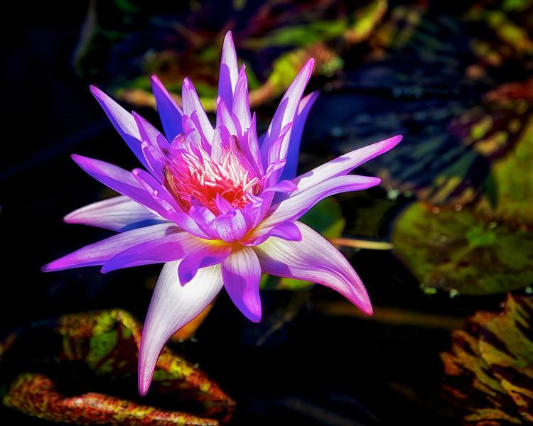 Koi Bloom
