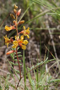 Hoffmannseggia glauca, Indian Rushpea; Presidio County, Texas 2014-07-26   2