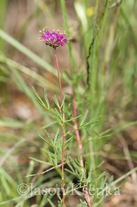 Dalea cahaba, Cahaba Prairie Clover; Bibb County, Alabama 2015-06-20   6