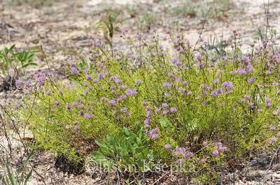 Dalea feayi, Feay's prairie clover; Franklin County, Florida 2016-05-24   4
