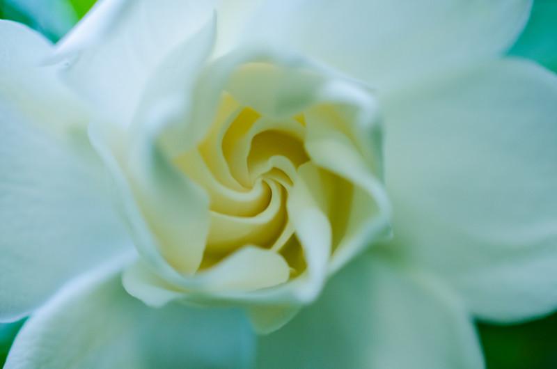 close-up Gardenia