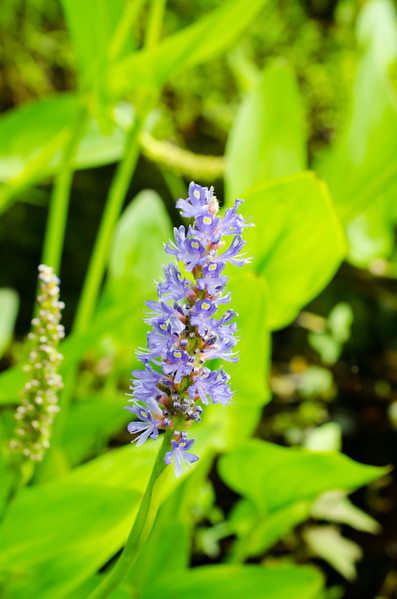 Pickerelweed in a stream