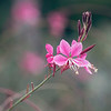Guara Plant