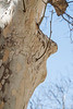 Big Nose Profile Tree