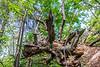 Flying Dragon Tree