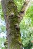 Flat Nose tree