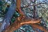 Deer face Tree