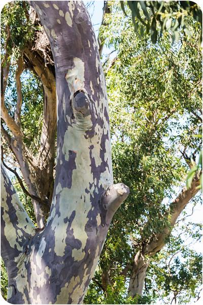Long Face Tree