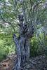 Three Head Dragon Tree