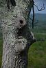 Big Cheeks Tree