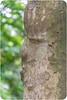 Asian face Tree