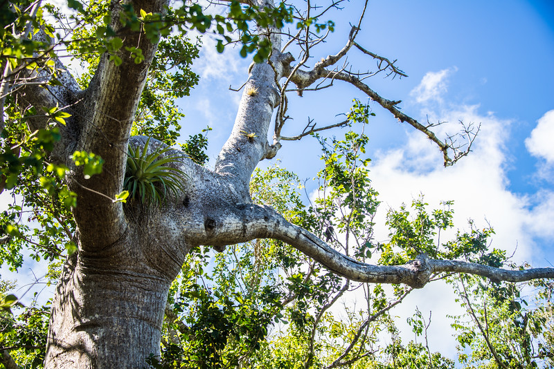 Elephant with two trunks Tree