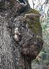 Bison Face Tree