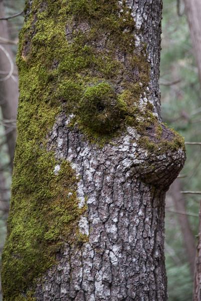 Round- Eyed Face Tree